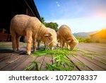 merino sheep eating luzi grass... | Shutterstock . vector #1072078337
