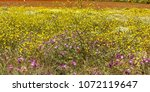 Field Of Yellow And Purple...