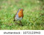 the european robin  known... | Shutterstock . vector #1072123943