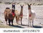 three decorated llamas  lama... | Shutterstock . vector #1072158173