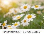 beautiful white camomiles daisy ... | Shutterstock . vector #1072186817