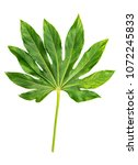 Small photo of Green leaf Japanese Aralia Fatsia japonica isolated on white background. Tropical jungle plant