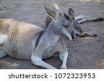 Lazy Kangaroos Lying On The...