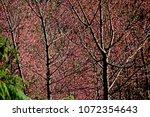pink cherry blossom tree on... | Shutterstock . vector #1072354643