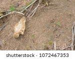 indian artifact arrowhead from... | Shutterstock . vector #1072467353