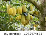 Jack Fruits Hanging In Trees I...