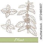 mint in hand drawn style....   Shutterstock .eps vector #1072480307