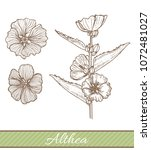 althea in hand drawn style....   Shutterstock .eps vector #1072481027