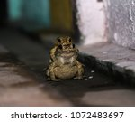 toad is breeding or love scene | Shutterstock . vector #1072483697