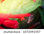a bee collecting nectar from... | Shutterstock . vector #1072491557