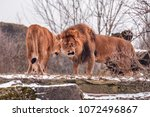 Small photo of angry couple of wild lions clarify the relationship