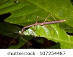 Stick Insect On A Leaf In The...