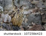 eagle owl sitting on the stone. ... | Shutterstock . vector #1072586423