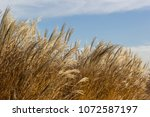 Small photo of Tall dry grass sway in the wind background