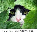 Black And White Cat Peeking...