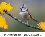 Small bird with a funny crest perched on a branch with some yellow leaves.