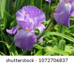 Lavender Iris   Close Up...