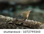 Small photo of Brown-cheeked Fulvetta, Grey-eyed Fulvetta (Alcippe poioicephala) in forest Thailand