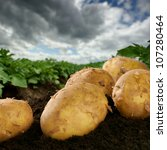 Freshly dug potatoes on a field with dramatic sky - stock photo