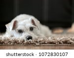 schnauzer resting on a rug | Shutterstock . vector #1072830107