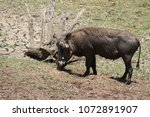 common african warthog in... | Shutterstock . vector #1072891907