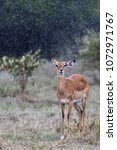Small photo of A Lone Impala in rain with a ear waggle depicts as if she were listening to the rhythm of rain. Dark green background separates the rain drops from the back ground adding more feel to the image.
