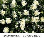 white tulips garden | Shutterstock . vector #1072995077