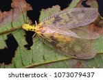 macro image of a dobsonfly...   Shutterstock . vector #1073079437