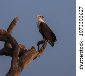 Small photo of African Fish Eagle in the late afternoon sunlight near the Satara Camp, Kruger National Park