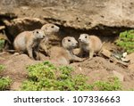 A Group Of Young Black Tailed...