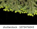 Small photo of Yellow needles emerge in the spring as new anual growth on the branch tips of a douglass fir (Pseudotsuga menziesii) tree in its natural mountain habitat.