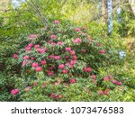 pacific rhododendron ... | Shutterstock . vector #1073476583
