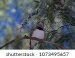 a female zebra finch perche... | Shutterstock . vector #1073495657