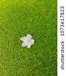 beautiful white frangipani...   Shutterstock . vector #1073617823