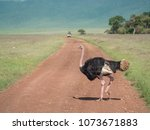 Small photo of ostriches saunter along stand on the road at Ngorongoro Crater safari, Tanzania