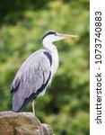 gray heron  ardea cinerea  | Shutterstock . vector #1073740883