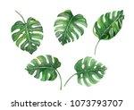 set of green monstera tropical...   Shutterstock . vector #1073793707