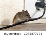 Closeup mouse gnaws wire  in an ...