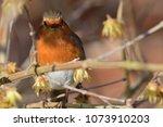 portrait of a robin  erithacus...   Shutterstock . vector #1073910203