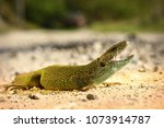 aggressive male green lizard... | Shutterstock . vector #1073914787