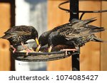 starlings feeding and fighting... | Shutterstock . vector #1074085427
