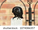 jackdaw perched on a fence post | Shutterstock . vector #1074086357