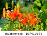 Lilies flowers on garden - stock photo