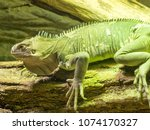 lesser antillean iguana  iguana ... | Shutterstock . vector #1074170327