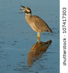Small photo of Yellow-crowned night heron throwing up a crab to swallow