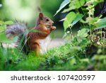 Eurasian Red Squirrel  Sciurus...