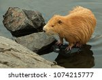 nutria at a pond  | Shutterstock . vector #1074215777