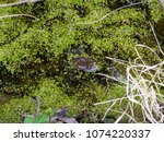 frogs in the swamp during the... | Shutterstock . vector #1074220337