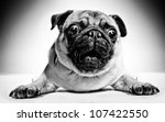 Black and white closeup portrait of a pug with large staring protruding eyes and a cute frown lying facing the camera - stock photo