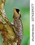 Small photo of Black face greater spiny lizard (agamid) perching on small tree in nature